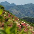 Photos: 大平山・山頂公園のツツジ6-2