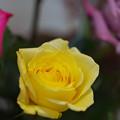 春のバラ展6-3