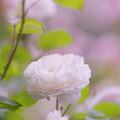 春のバラ展6-4