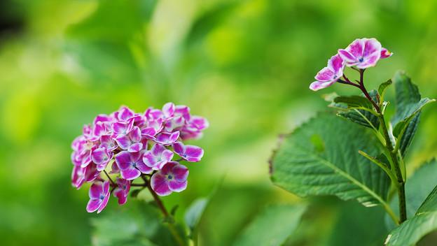 紫陽花1-6