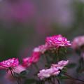 春のバラ展7-4