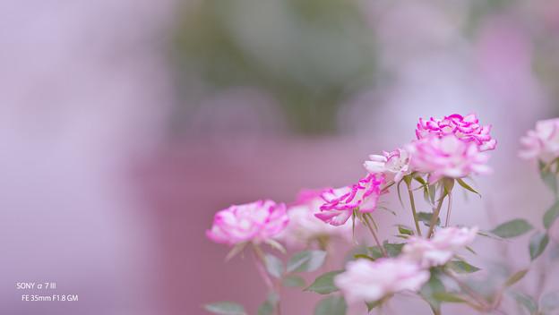 春のバラ展7-5