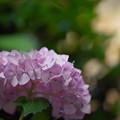 Photos: アジサイ・未来3-4