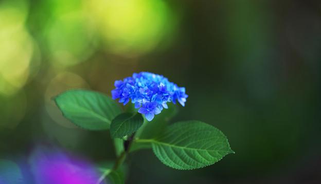 紫陽花2-2
