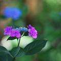 紫陽花2-3