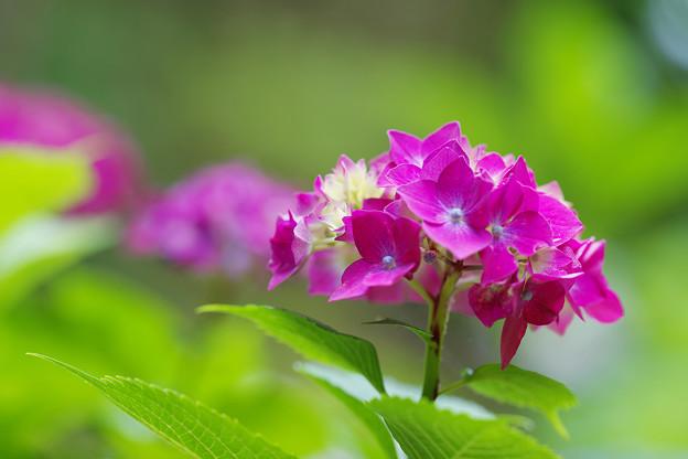 紫陽花2-6