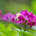Photos: 紫陽花2-6