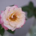 春のバラ展8-3
