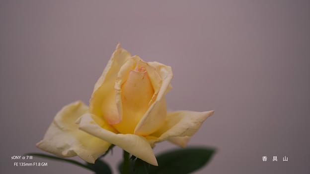 春のバラ展8-4