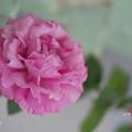 春のバラ展8-5