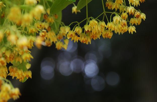 菩提樹の花・1