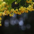 Photos: 菩提樹の花・1
