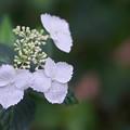 紫陽花3-1