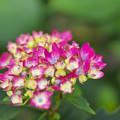 紫陽花3-3