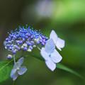 紫陽花3-4