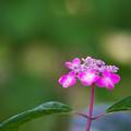 紫陽花3-5