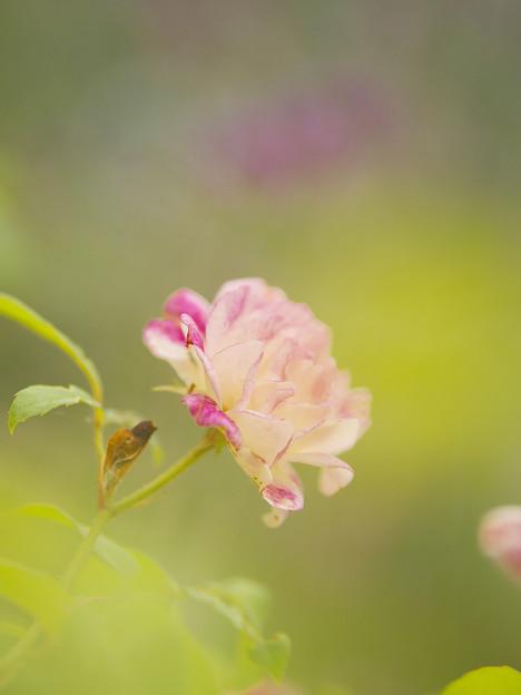 初夏の花2-4