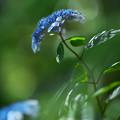 紫陽花4-6