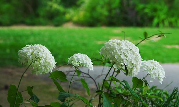 初夏の花4-1