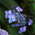 Photos: 紫陽花5-2