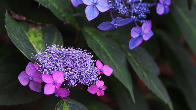 紫陽花5-3