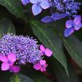 Photos: 紫陽花5-3