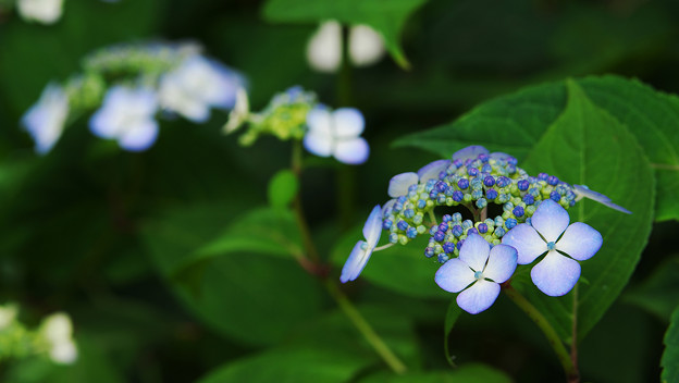 紫陽花5-5