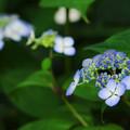 Photos: 紫陽花5-5