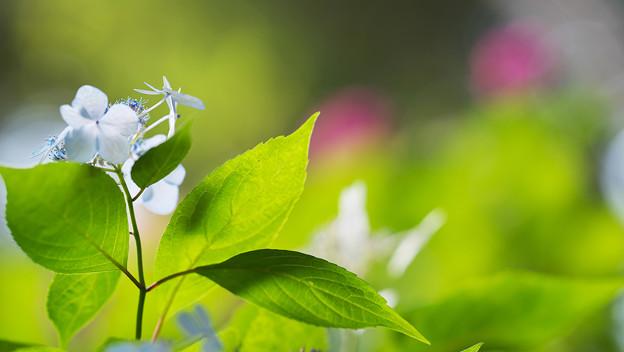 紫陽花6-6