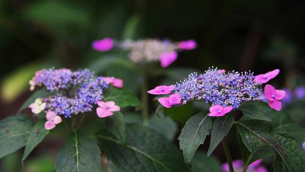 紫陽花8-1