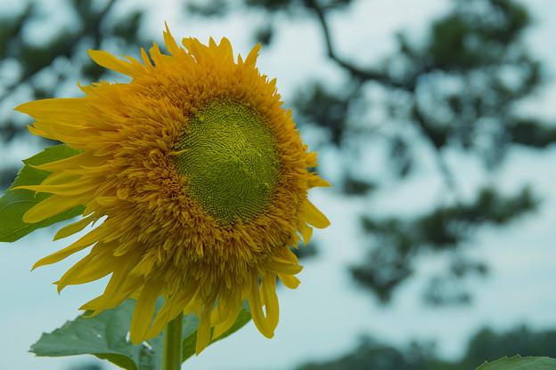向日葵2-3