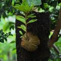 アリノスダマ(蟻の巣玉)
