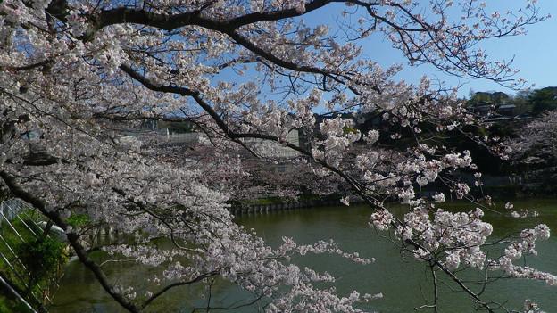 15,03,31谷戸池桜-1