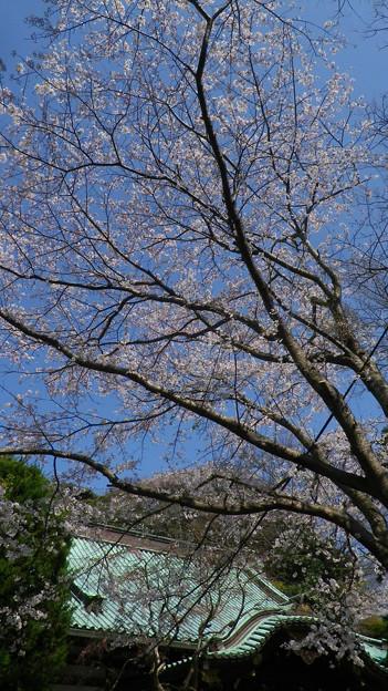 15,03,31妙本寺本殿前桜
