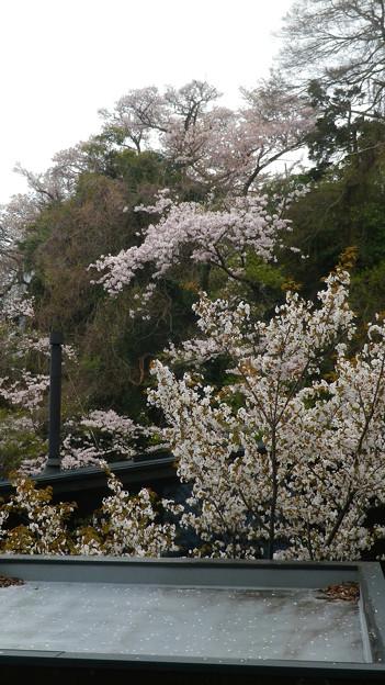 15,04,01打越山桜-1