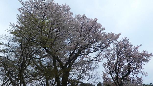 15,04,01打越山桜-2