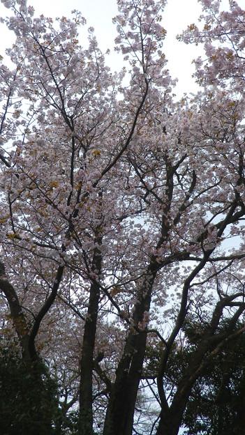 15,04,01打越山実家桜-2