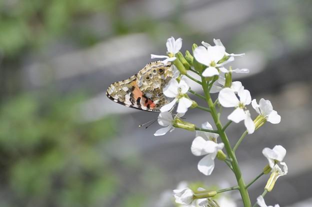 ダイコンの花とタテハチョウ?