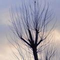 2月8日、朝焼け空とポプラの木
