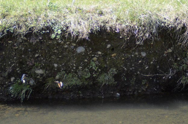 3月15日、黒目川でも巣作りを始めたカワセミカップル(1)