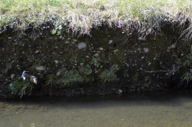 3月15日、黒目川でも巣作りを始めたカワセミカップル(2)