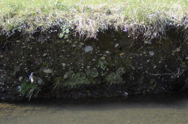 3月15日、黒目川でも巣作りを始めたカワセミカップル(4)