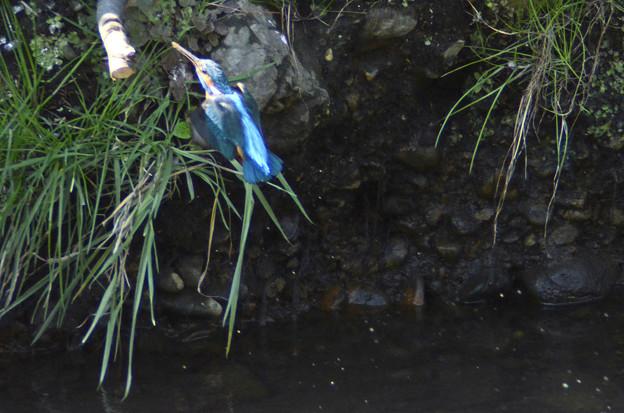 3月15日、土で汚れた体を洗うカワセミ♂(2)