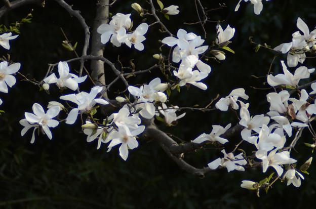 3月27日、ほぼ満開の辛夷(こぶし)(1)