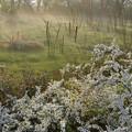写真: 3月29日、朝霧と雪柳