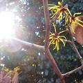 写真: まんさくの花