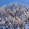 満開の白梅の木