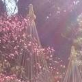 写真: 春のベール