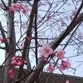 写真: さくら咲く