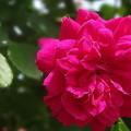 写真: 深紅の薔薇